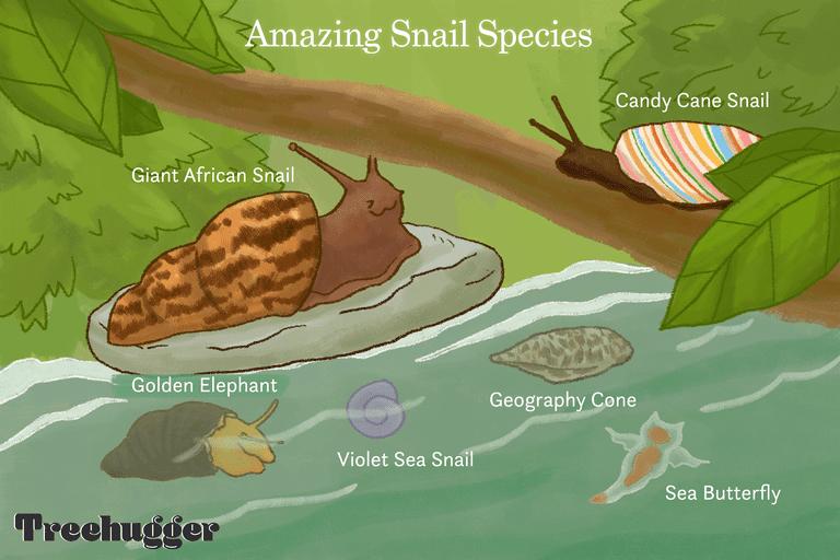 amazing snail species