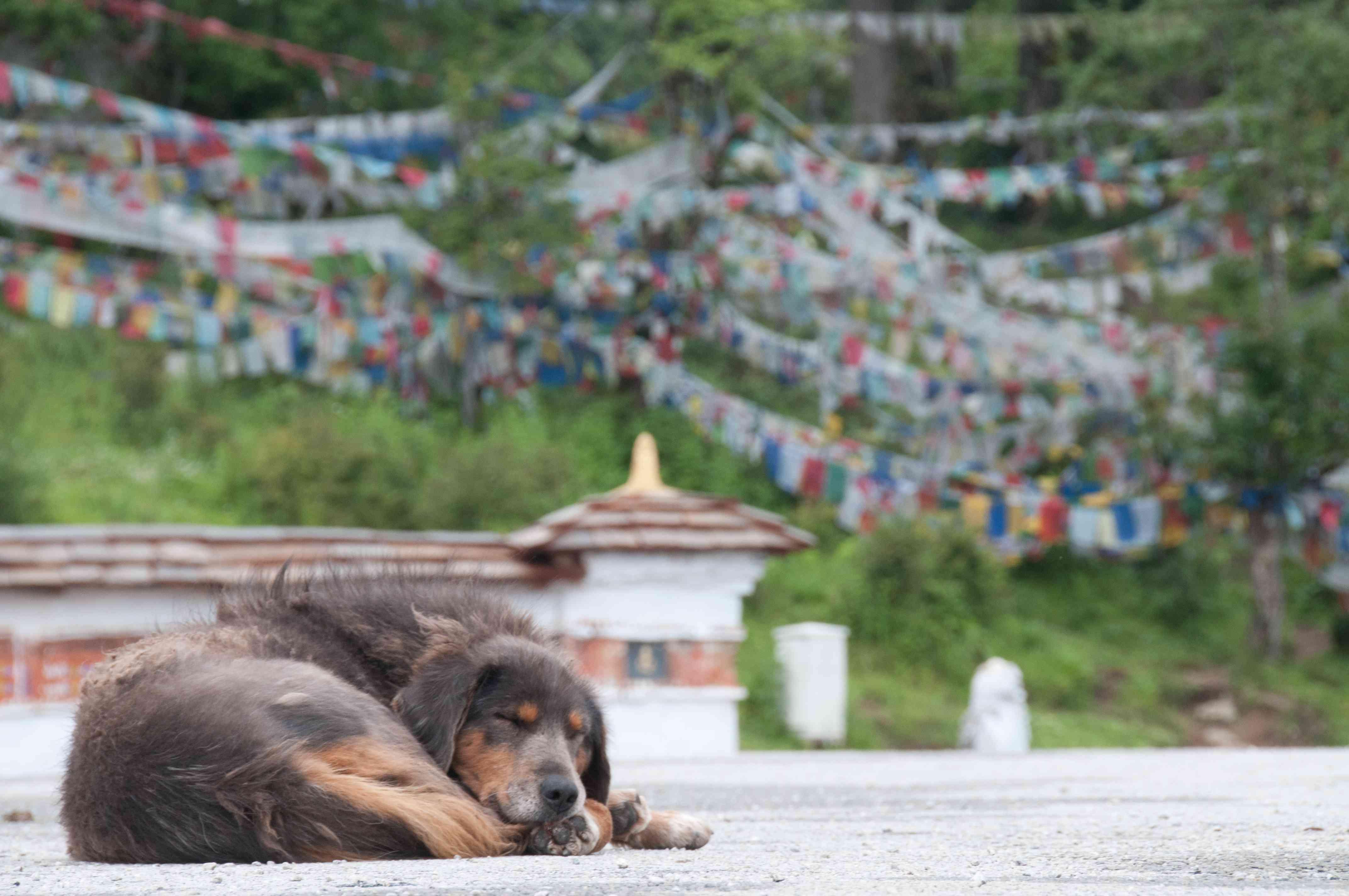 Street dog sleeps in Bhutan