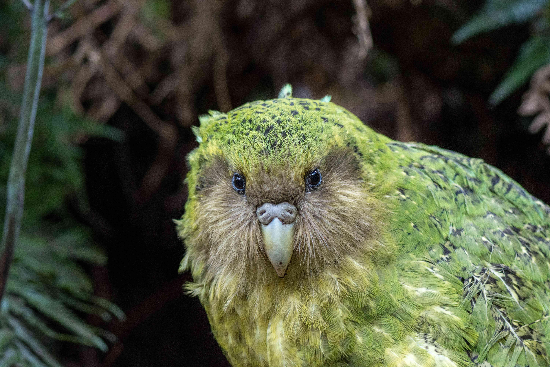 A green Kakapo looking straight into the camera.