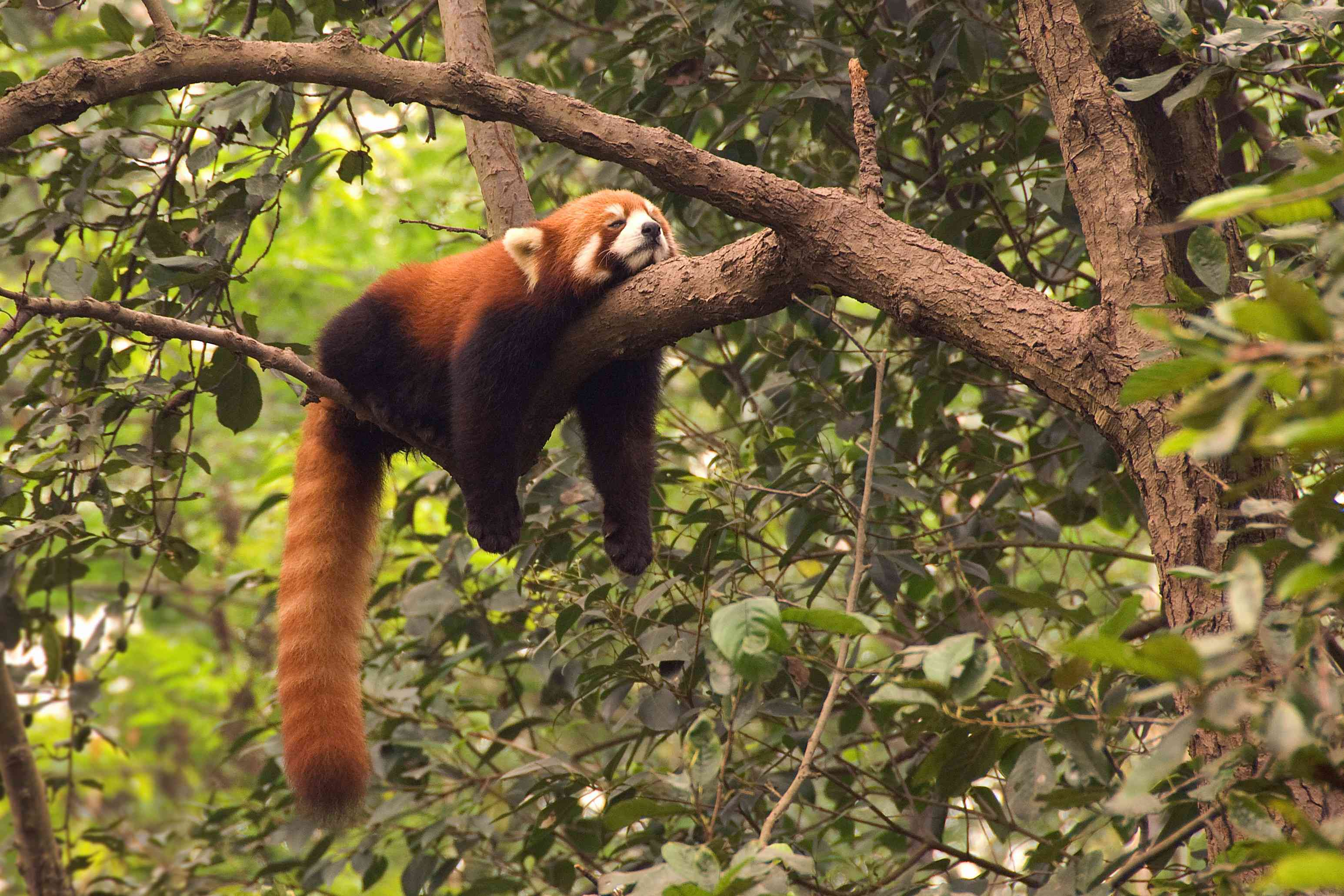 Red panda sleeping on a tree branch