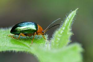 Side view of metallic dogbane leaf beetle on fuzzy leaf