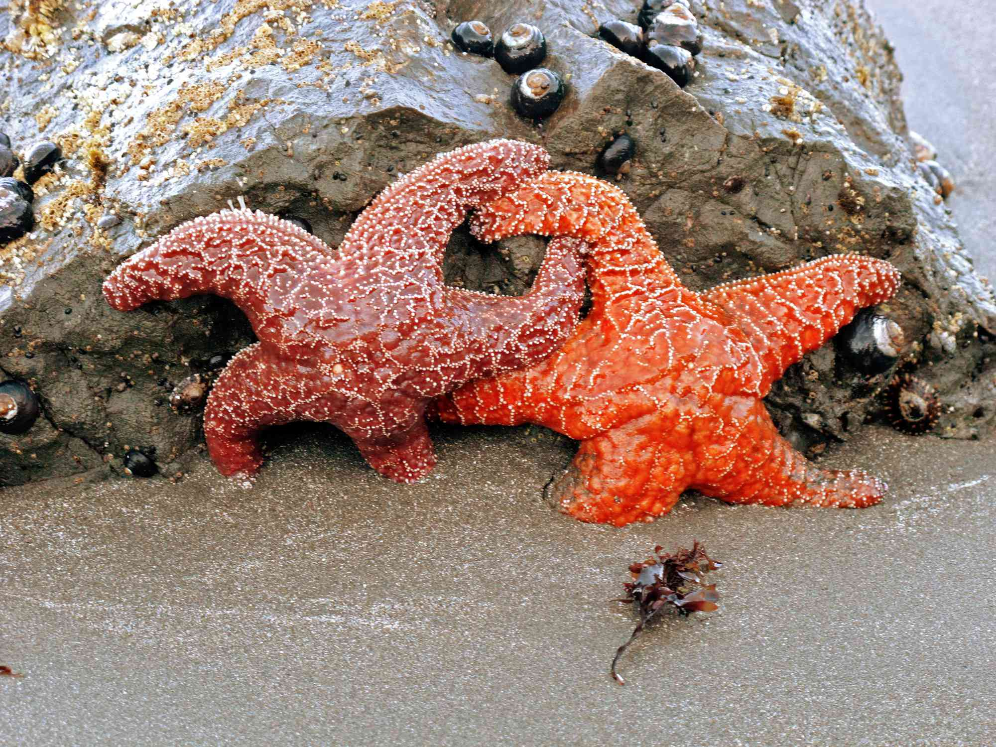 Starfish reproduce asexually through fission