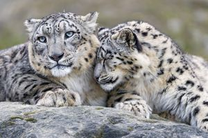 Two snow leopard cuddling