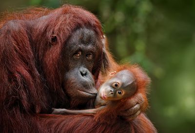 Orangutan Mother With Child in Nature
