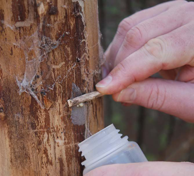 scraping lanternfly egg mass from a tree