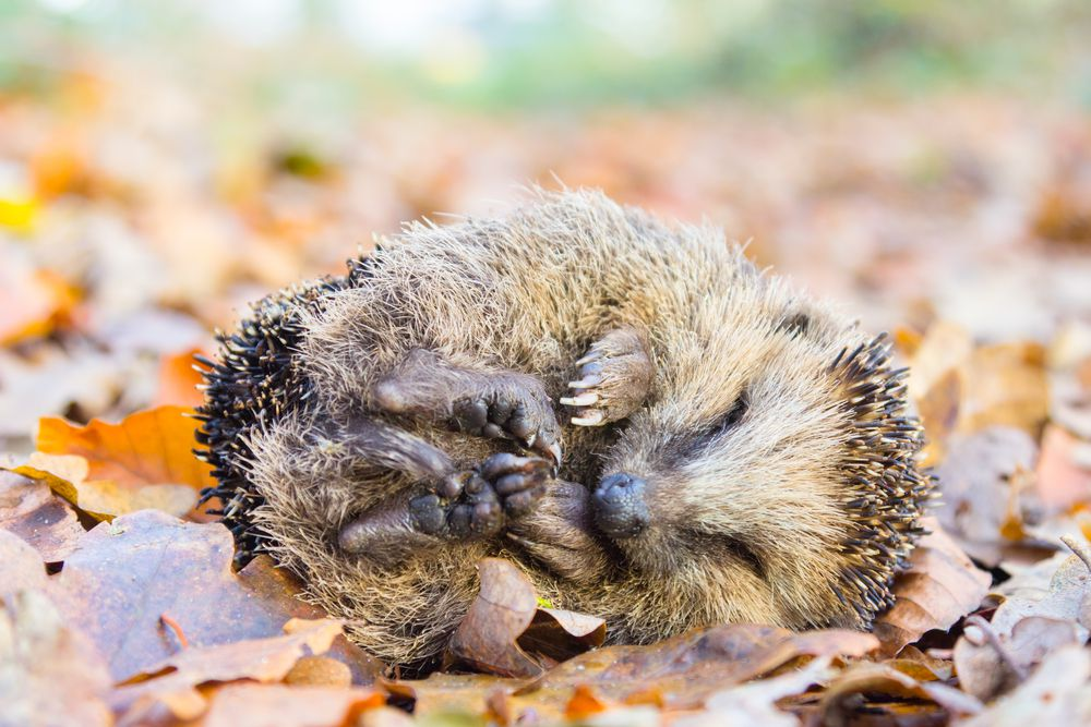 A hedgehog curled up sleeping on dried leaves.