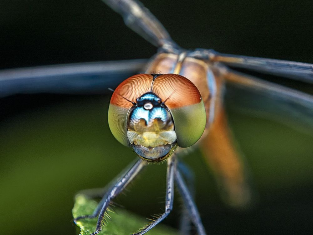 Dragonflies have huge compound eyes that allow 36-degree vision.