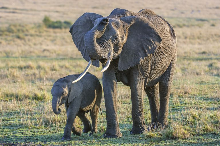 African savanna elephant and baby