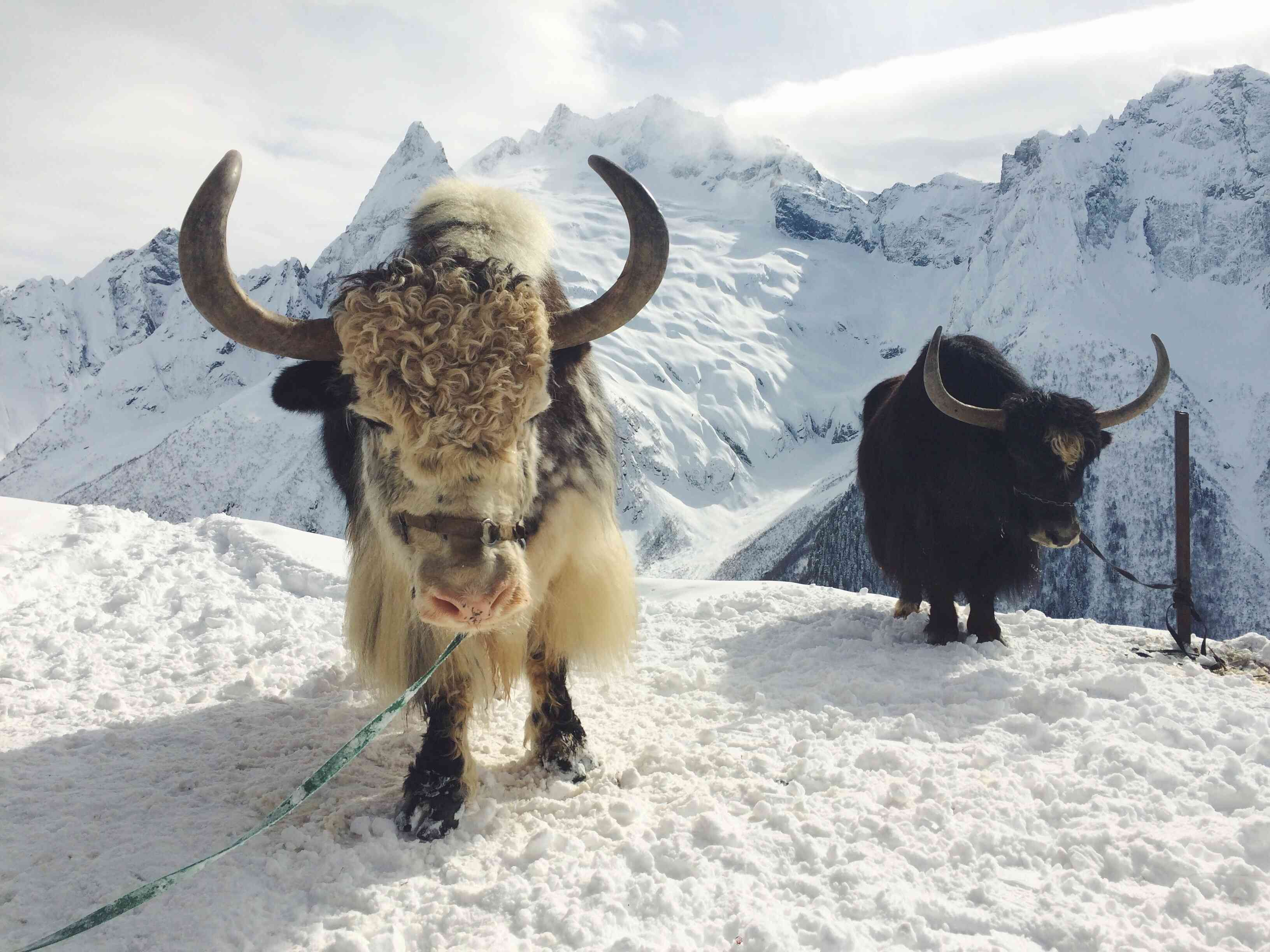 yaks standing in snow in mountains