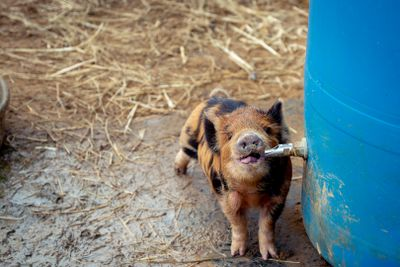 small brindle pig sucks water from spout on large plastic water barrel