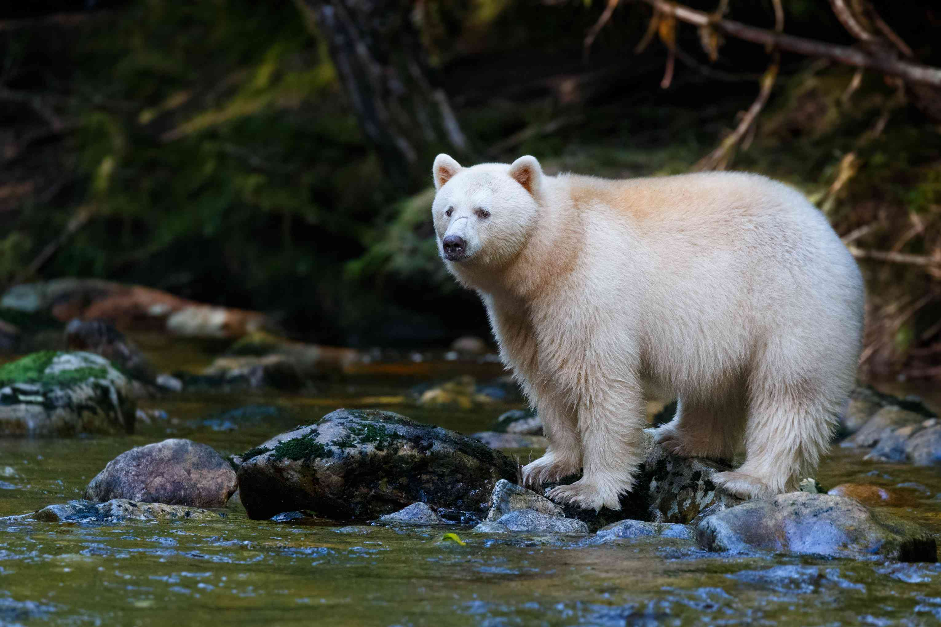 white spirit bear stands on rocks in river with rushing water