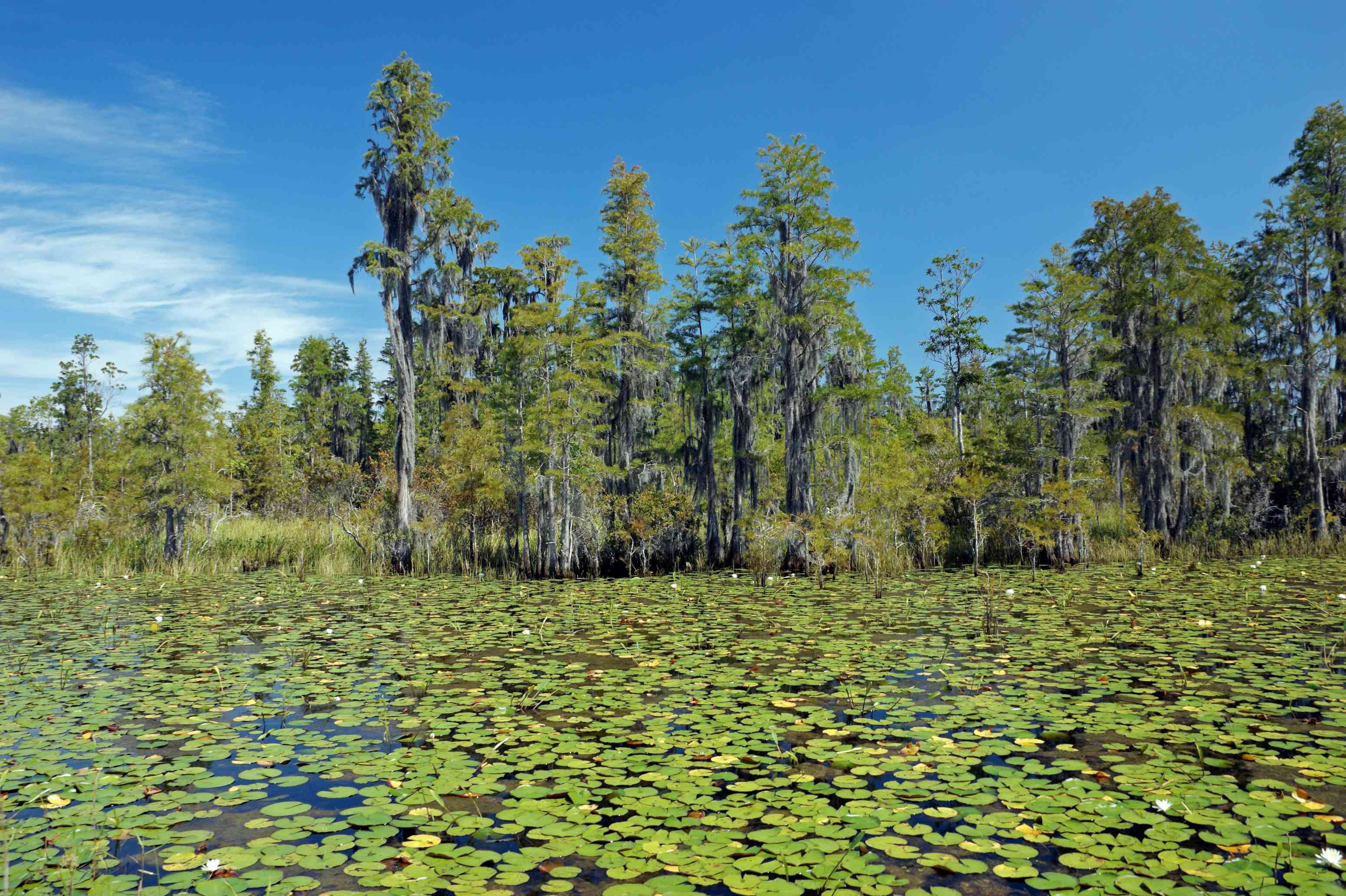 Okefenokee swamp filled with green lily pads on the water and tall green trees in the distance