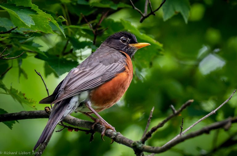 An American robin on a tree branch