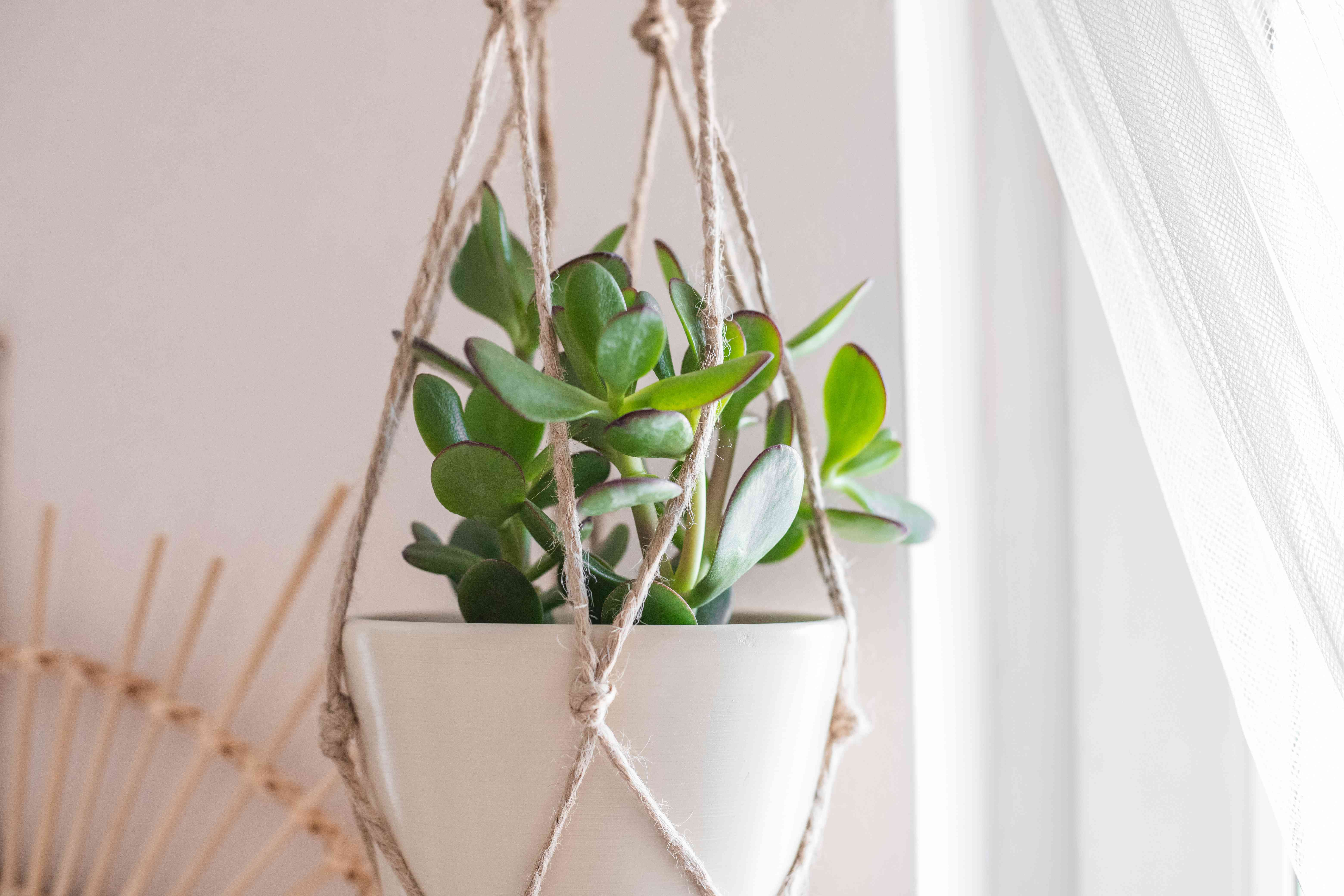 jade plant hangs from macrame holder near a window with sheer curtains