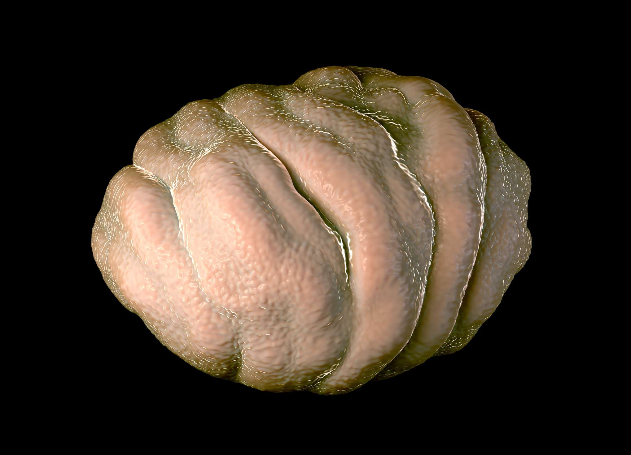 illustration of tardigrade in a tun state