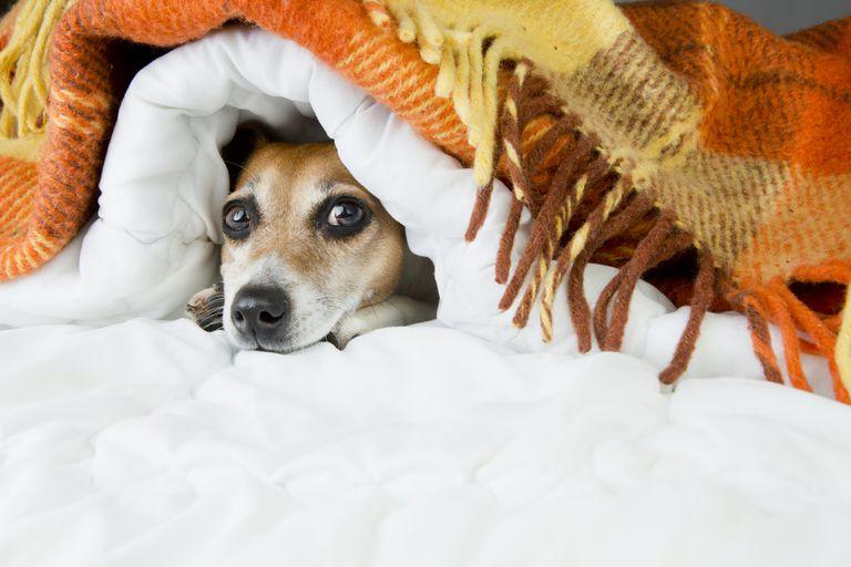 small dog hiding under blankets