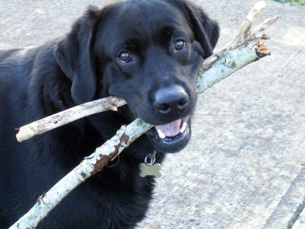 dog carrying two sticks