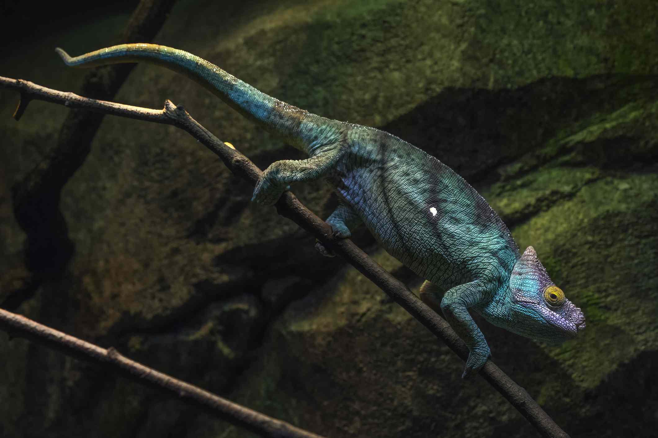 Parson's chameleon walking on branch at night