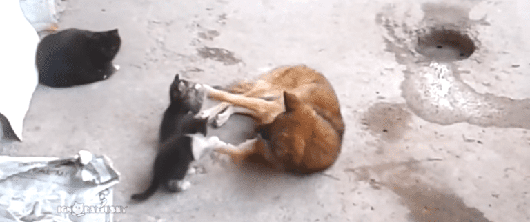 dog playing with kittens