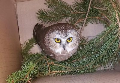 rescued owl in box