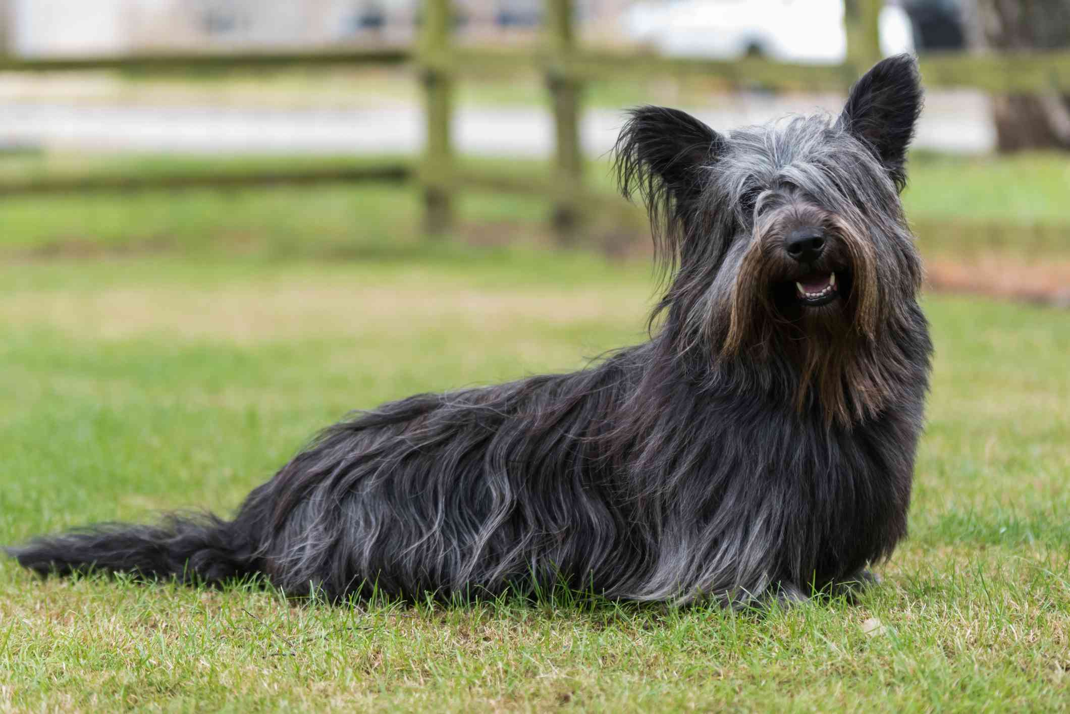 black Skye Terrier with shaggy hair and perky ears sitting in a field looking at the camera