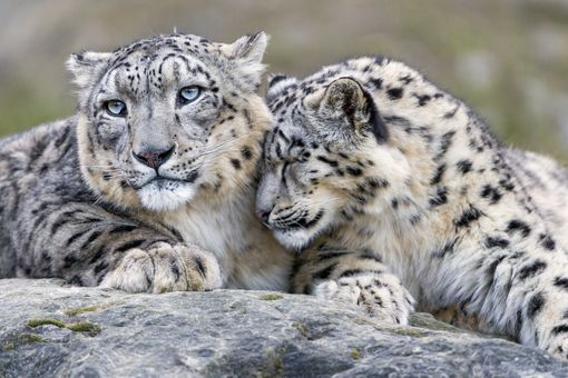 Two snow leopard cuddling