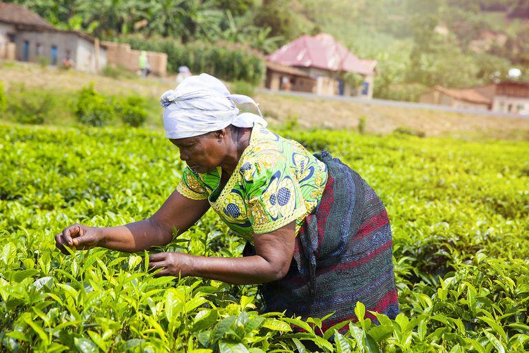 A woman in Rwanda farming tea leaves.