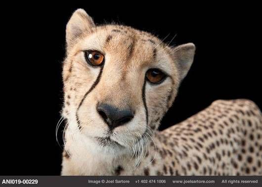 Hasari the cheetah