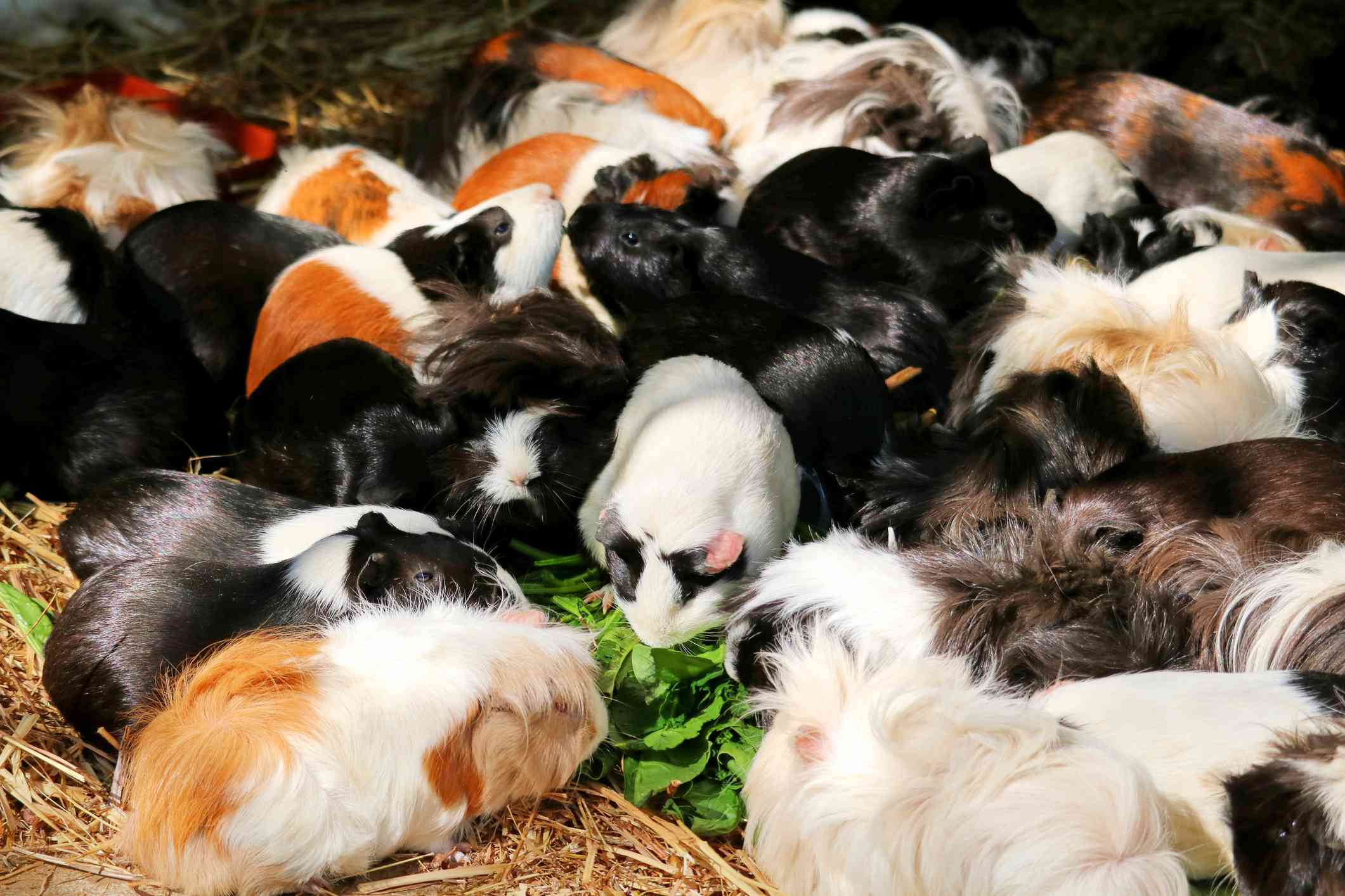 A herd of guinea pigs surrounding an edible green plant