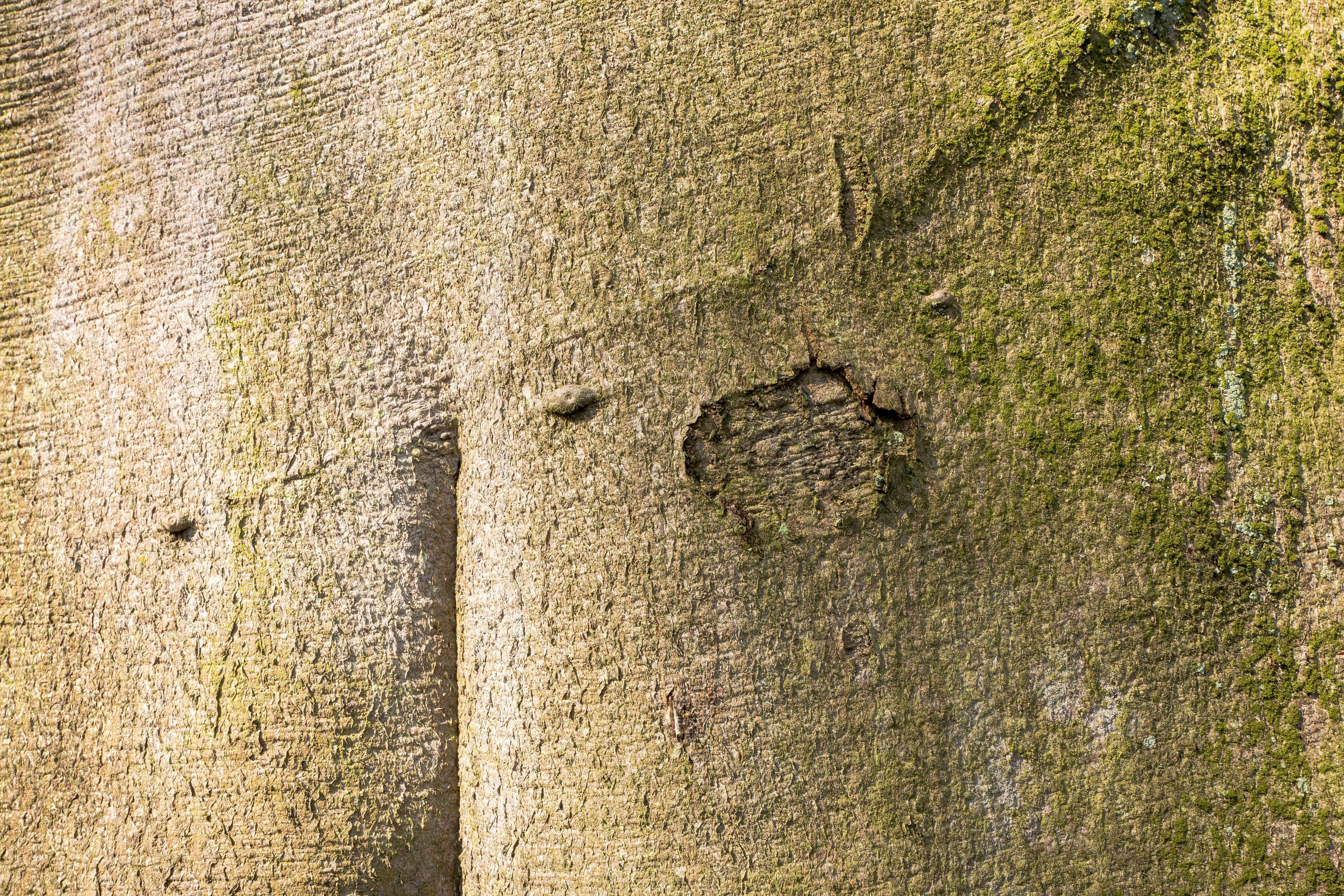 Close up of beech tree bark