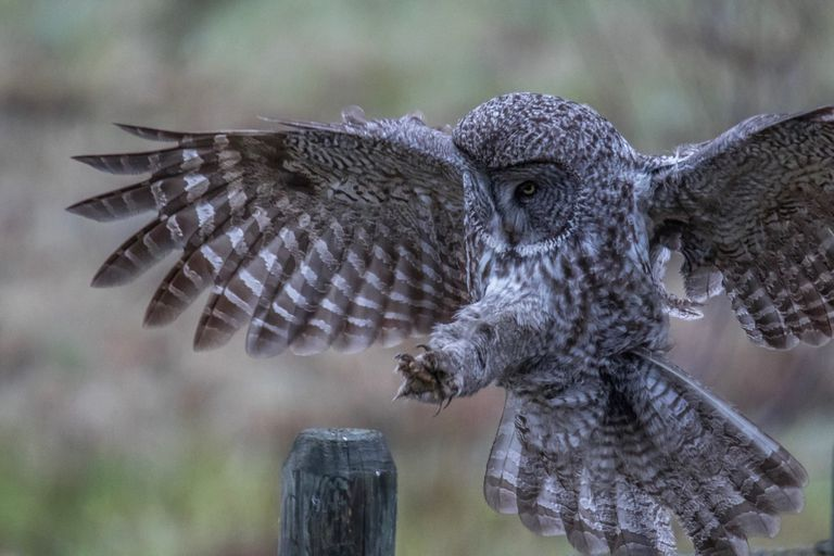 Gray owl in the act of landing on a fence post