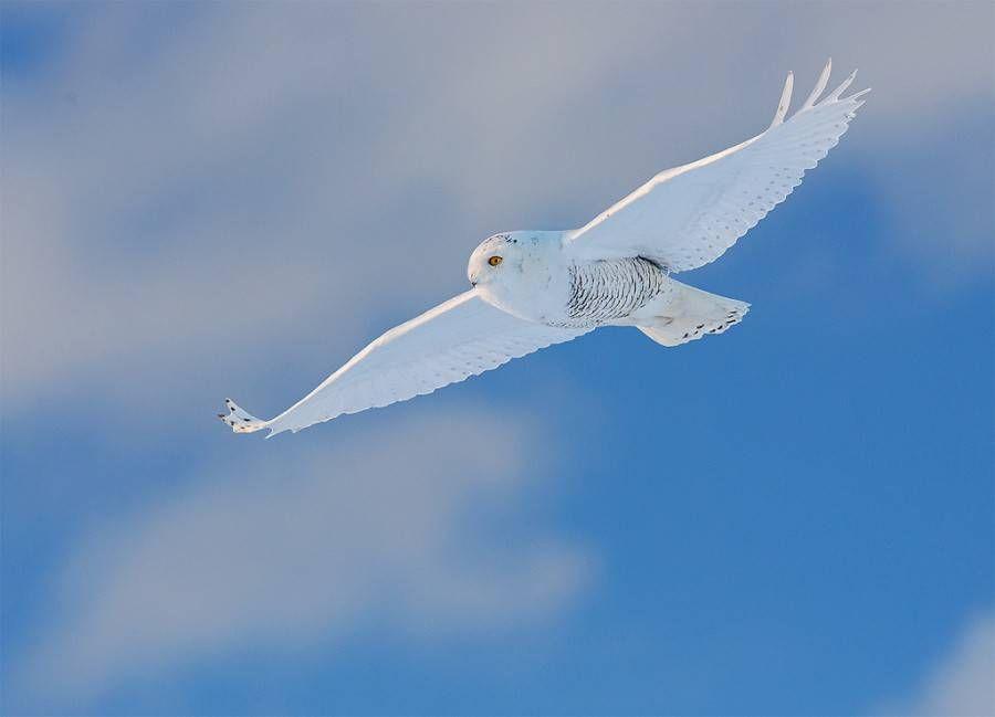 snowy owl against blue sky