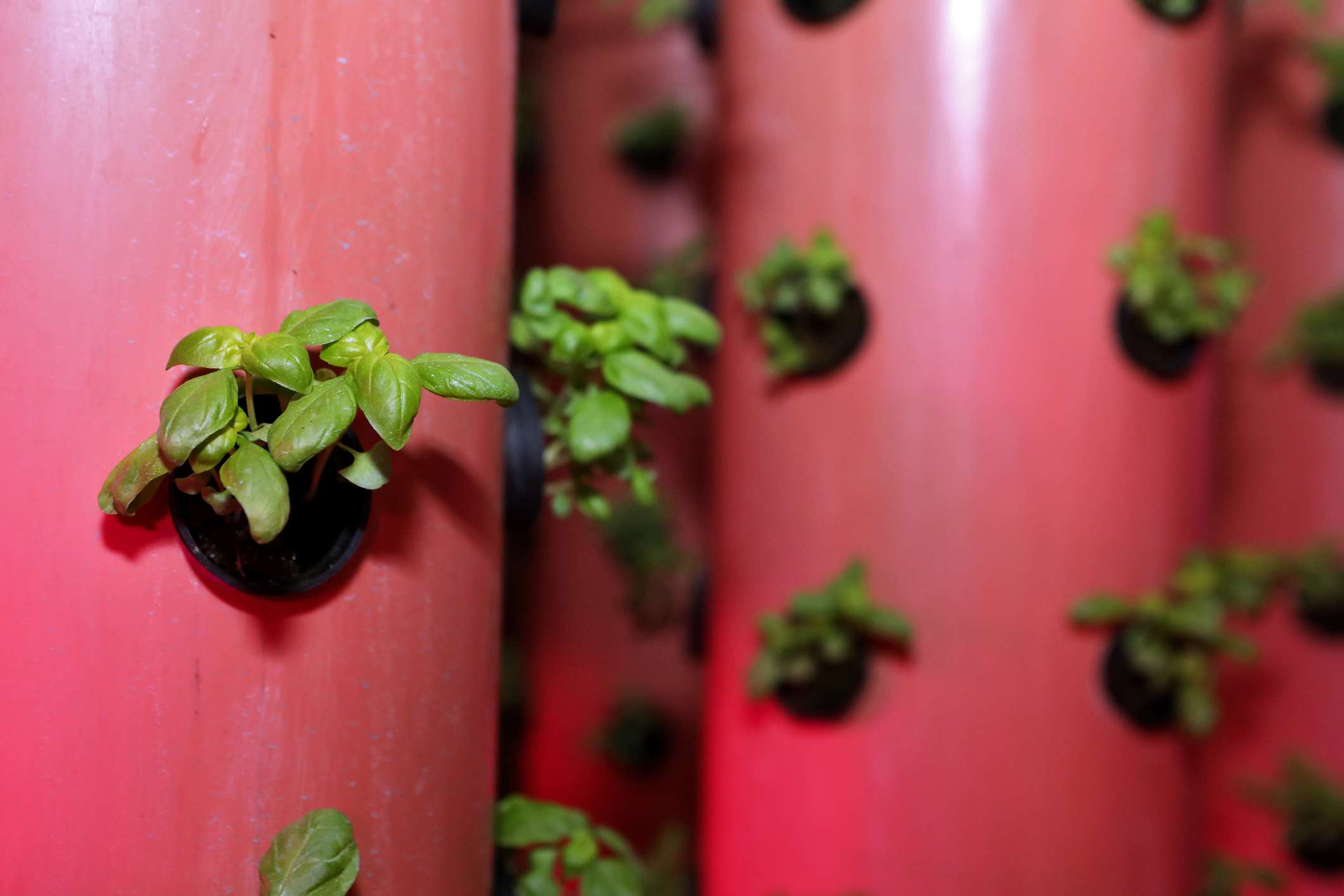 Vertical aeroponic basil in a greenhouse during winter