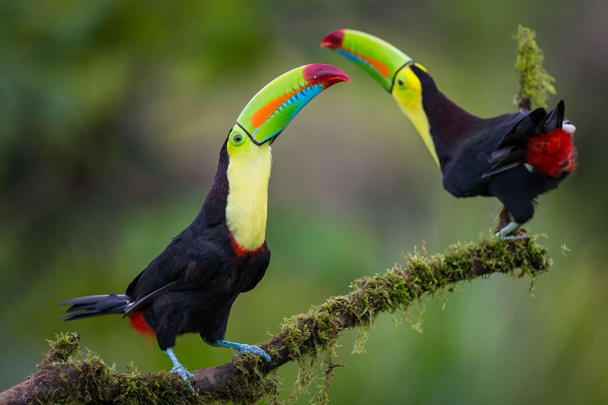 pair of keel-billed toucans
