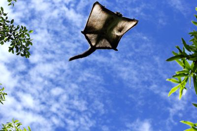 Large flying squirrel soars through air with blue sky background