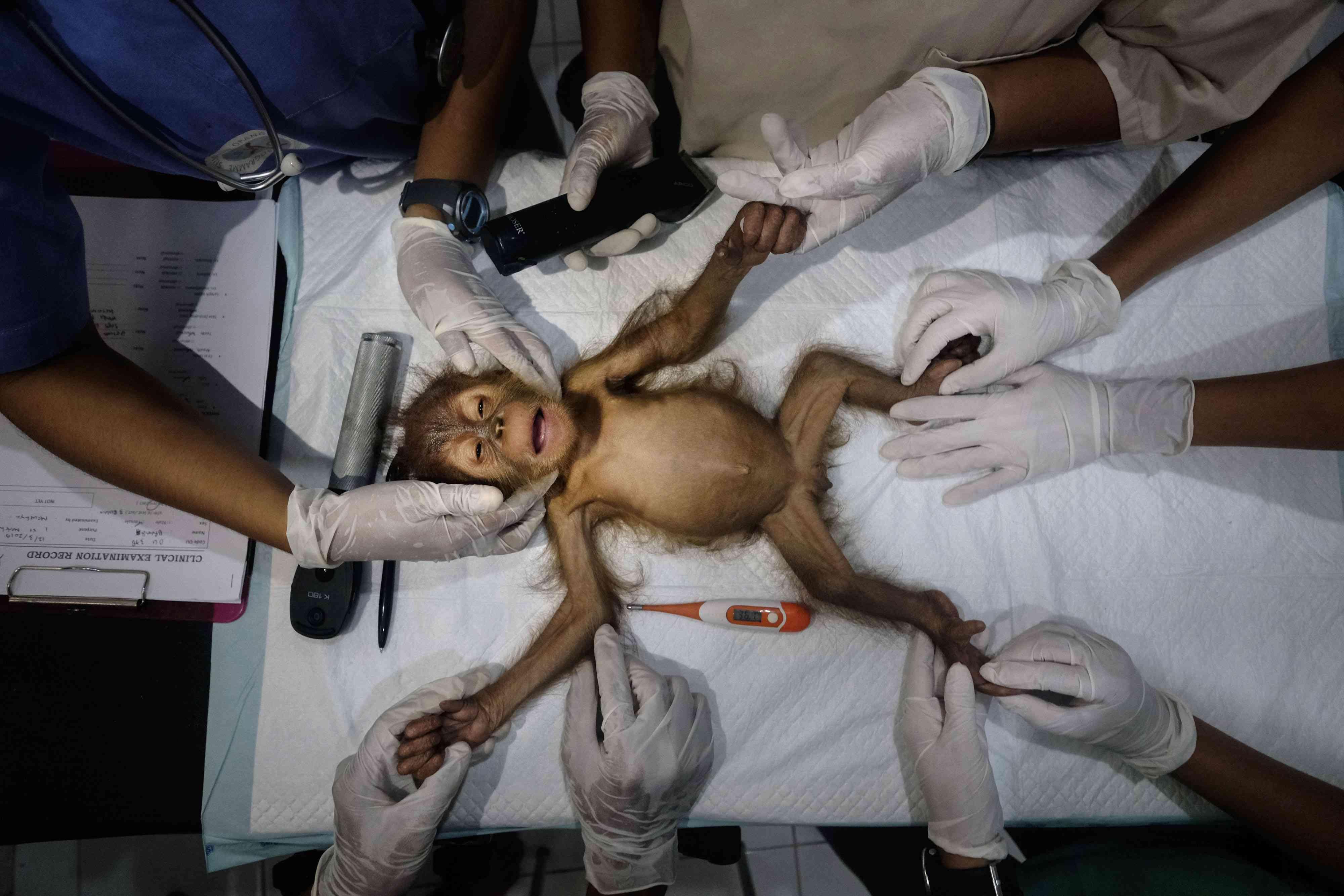 baby orangutan rehab
