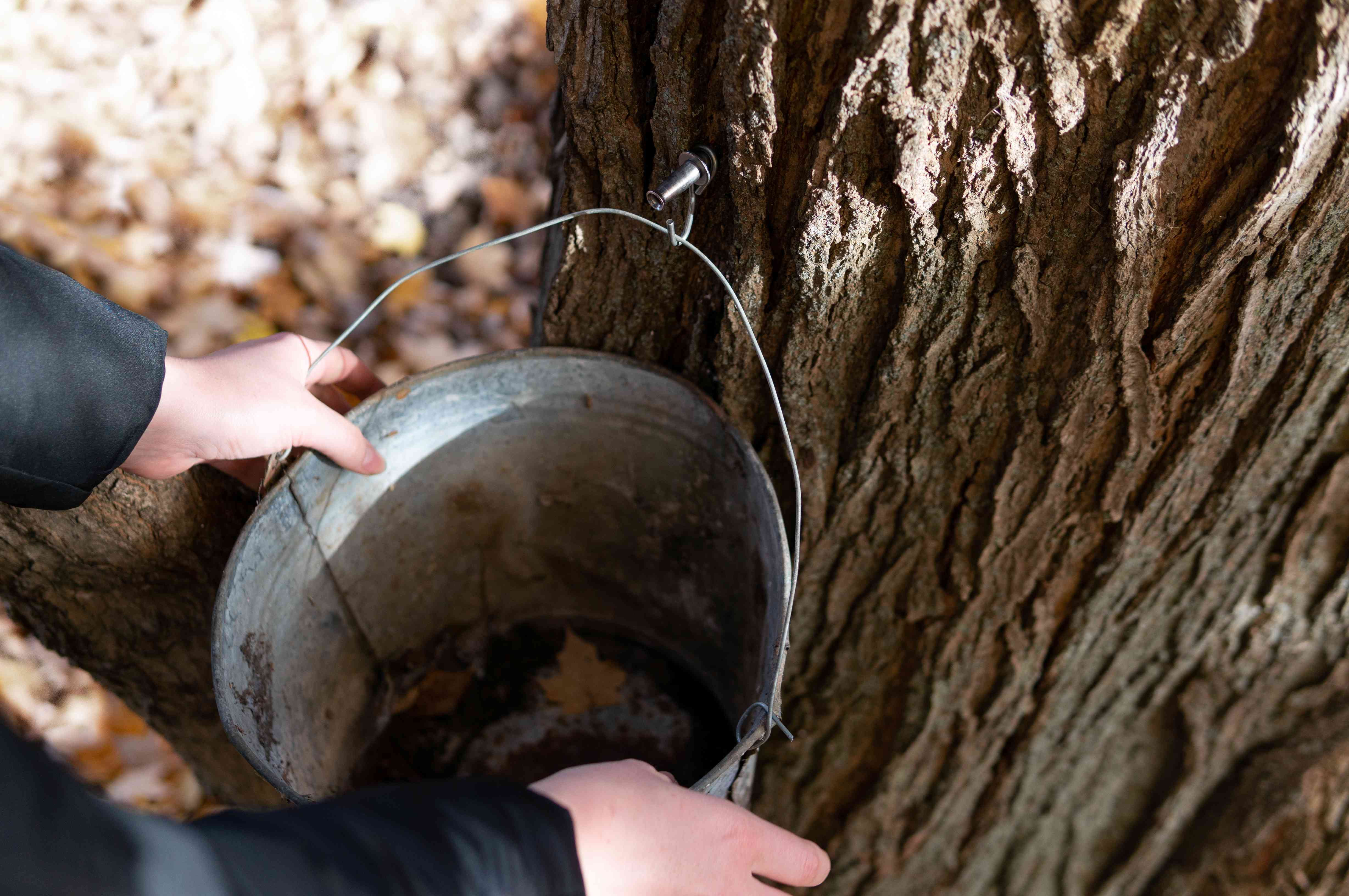 hands hold bucket under tree for sap