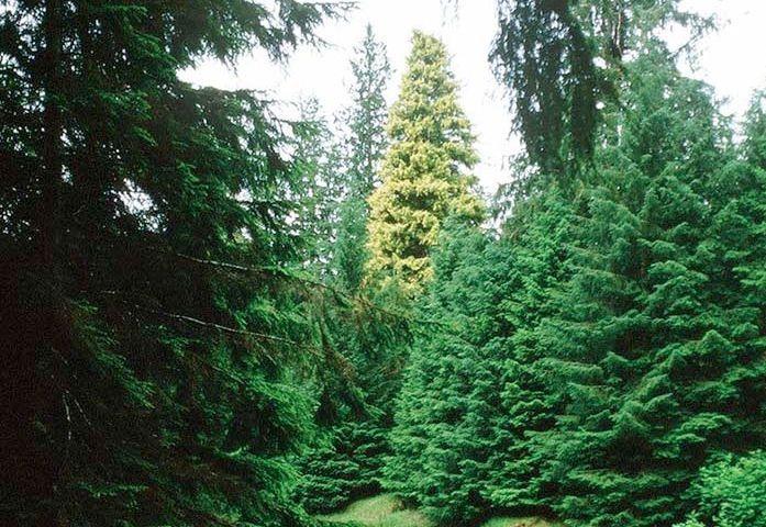 Kiidk'yaas tree photo