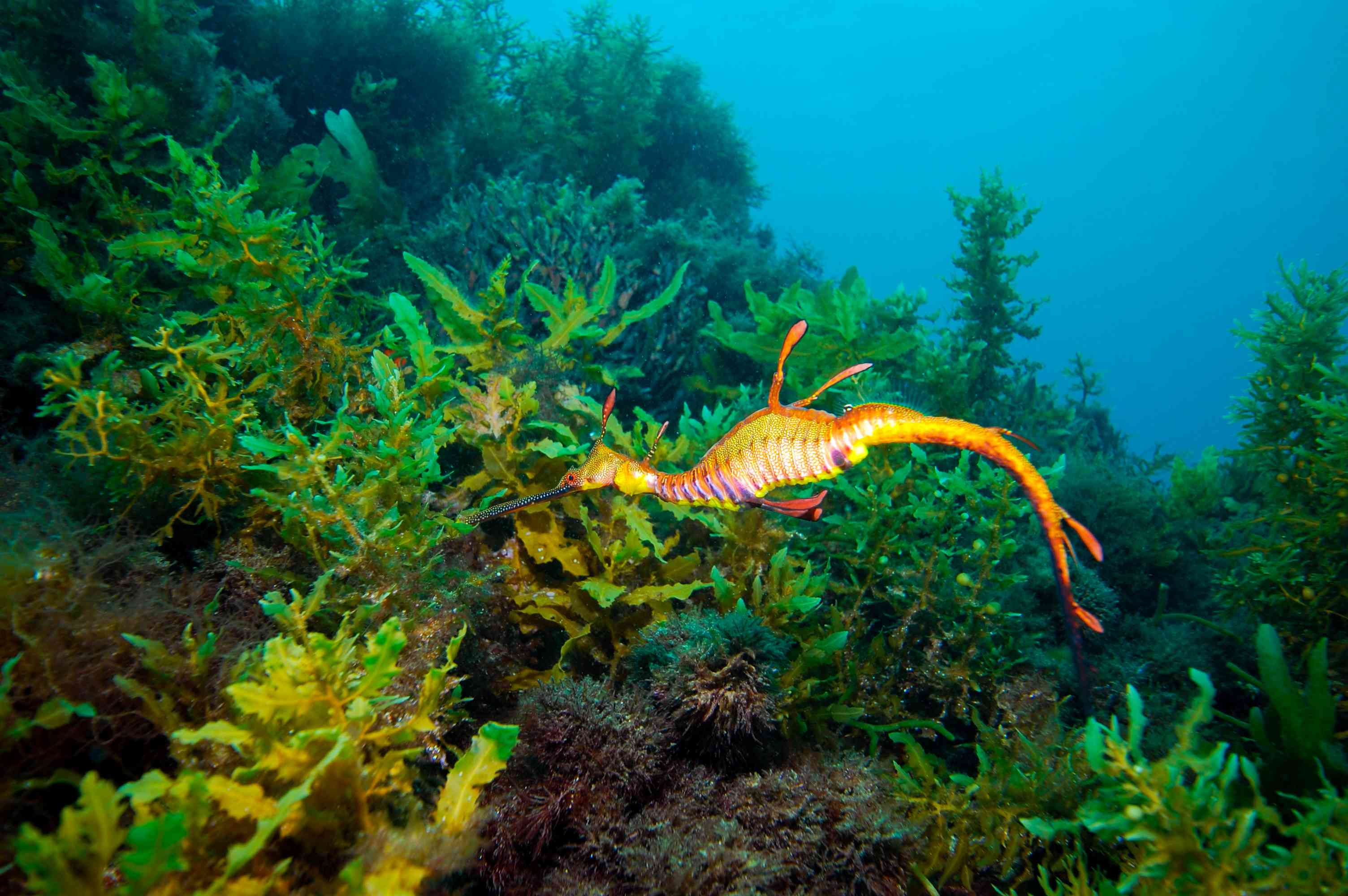 Yellow and orange weedy sea dragon nibbling on a green underwater plant