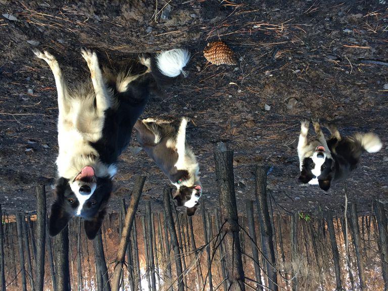 Los Border Collies corren como el viento para traer nueva vida al bosque chileno