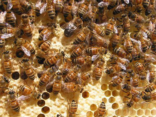 Hombre reubica 30.000 abejas encontradas viviendo en un ático