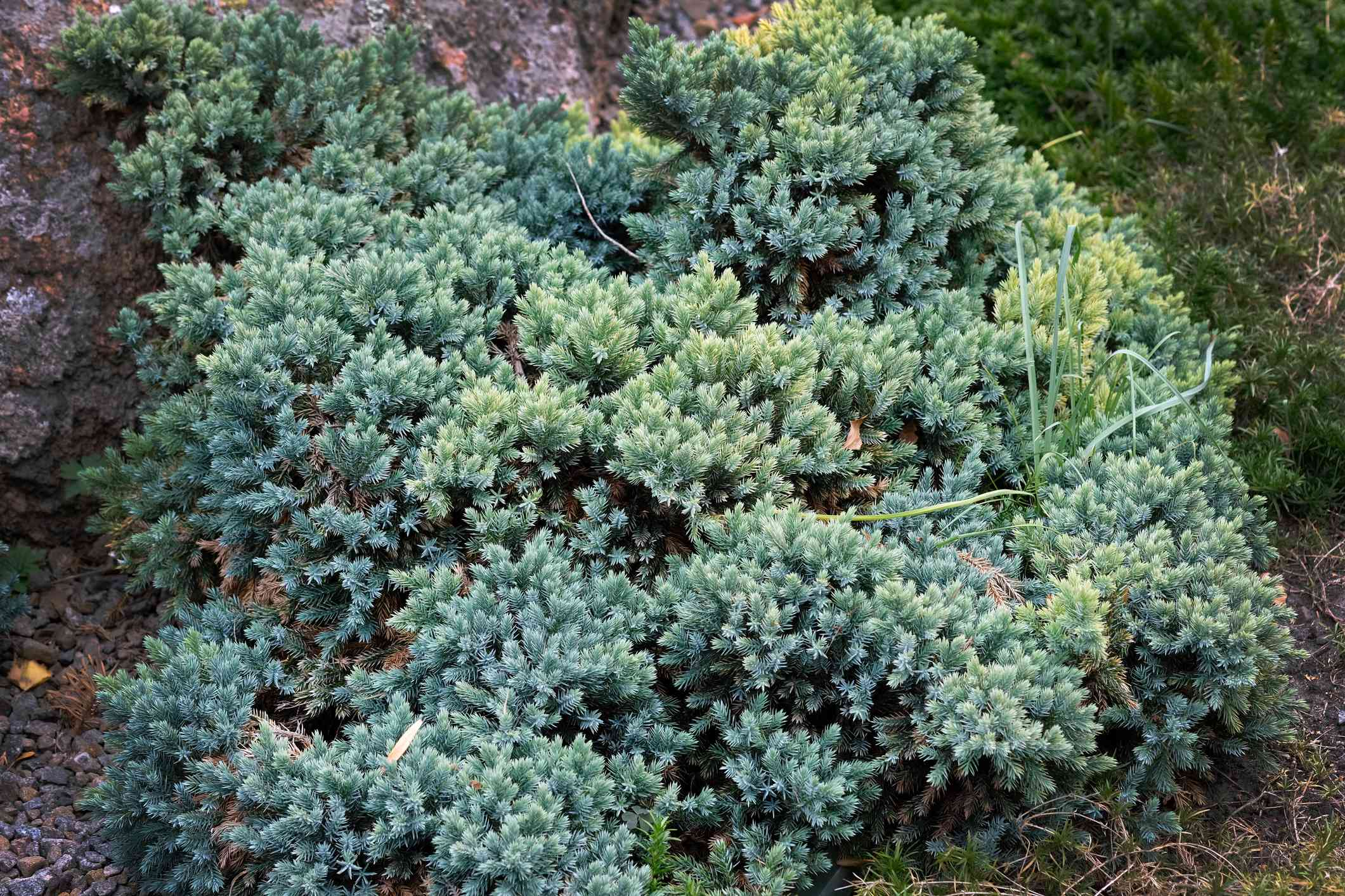 Blue Star Juniper covering a patch of ground