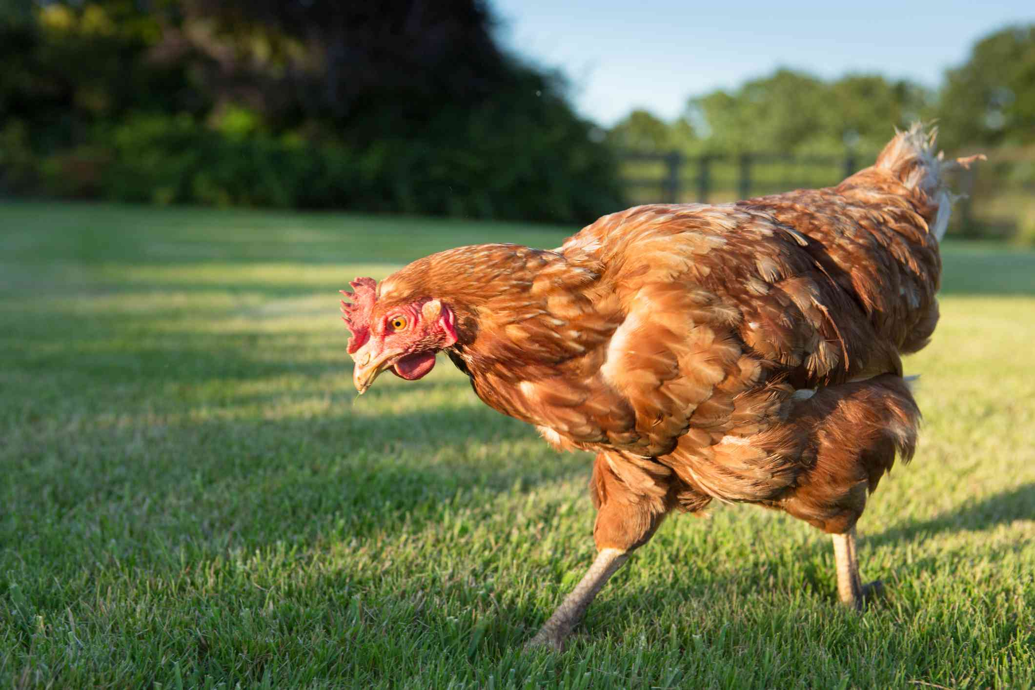A hen walking around on grass looking for bugs to eat.