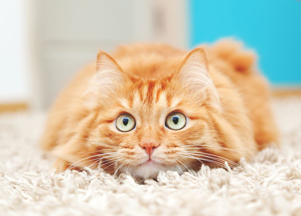 A nervous fluffy ginger cat crouches in white shah carpet