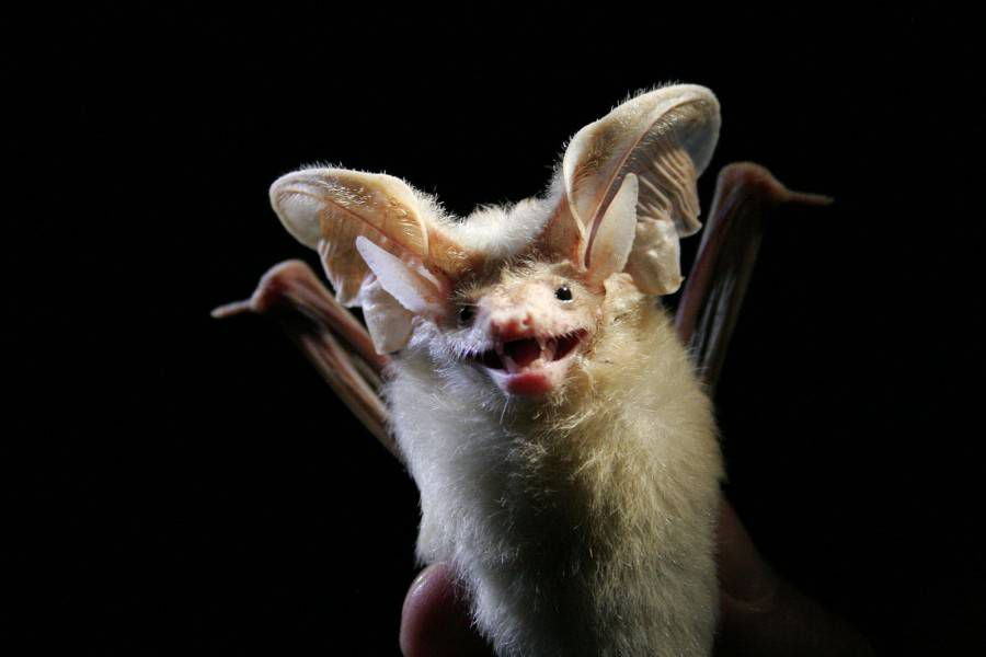 A long-eared bat is held up in front of a dark background