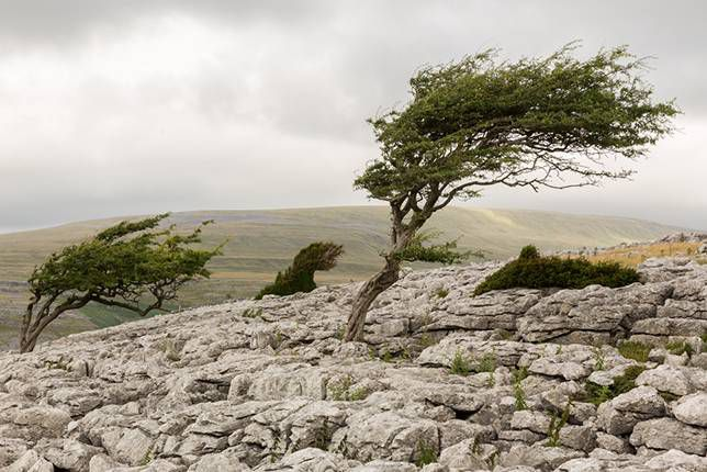Windswept trees on the rocky bed of Twisleton Scars