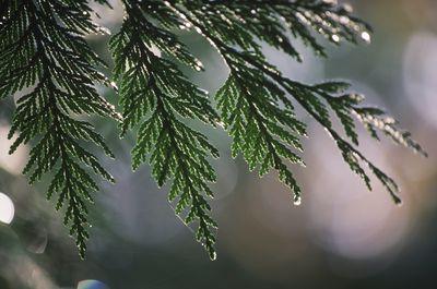 Western red Cedar Tree needles drip rain, British Columbia, Canada.