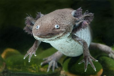 A large salamander that looks like its smiling swimming underwater