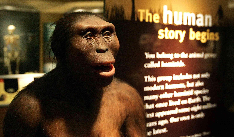 Lucy the australopithecine, Australopithecus afarensis