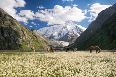 Mountains loom above a herd of horses grazing in Kyrgyzstan.